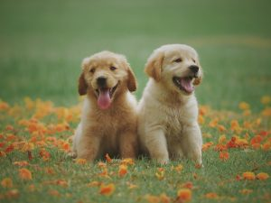two puppies in bed of flowers